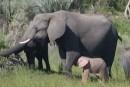 Un éléphant rose aperçu en Afrique
