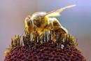 Des pesticides qui font trembler les abeilles