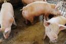 De l'aide pour les producteurs de porcs