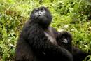 Le gorille au coeur de tous les trafics