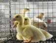 Les canetons sont de plus en plus populaires.... | 6 avril 2012