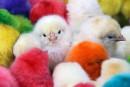 La SPCA de Montréal dénonce la location d'animaux