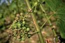 France: des vignobles du Bordelais détruits par la grêle