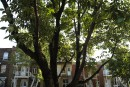 Agrile du frêne: une lutte «à deux vitesses» à Montréal
