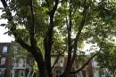 Montréal se défend d'avoir sous-évalué l'agrile du frêne