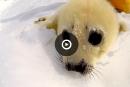 Des chasseurs de phoques veulent reprendre la chasse aux blanchons