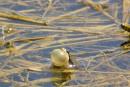 Le sort d'une grenouille embarrasse Ottawa