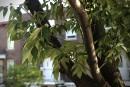 La Ville se prépare à l'invasion d'agrile du frêne