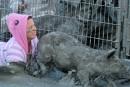 Festival du Cochon: la SPCA de Montréal dénonce à son tour l'événement