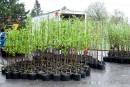 Québec plante beaucoup, mais petit