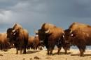 Des Autochtones veulent le retour des bisons