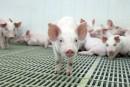 Embargo russe: l'industrie porcine cherche à limiter les dégâts
