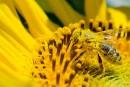 Le déclin des abeilles lié surtout à la perte de diversité des plantes