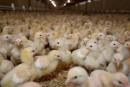Poulet sans antibiotiques: les Québécois sont-ils prêts à payer?