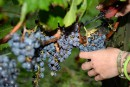 La vigne française doit s'adapter au climat