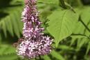 Agrile du frêne : pas une menace pour nos lilas, pour l'instant