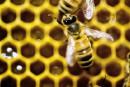 Un plan pour endiguer le déclin des abeilles