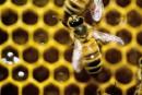 Vol de 180 ruches et de 5 millions d'abeilles: une arrestation