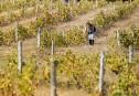 Des heures d'angoisse dans les vignobles