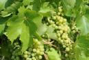 Gel au sol : importants dommages pour les vignerons