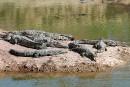 Maroc: 300 crocodiles lâchés pour un nouveau parc de loisirs