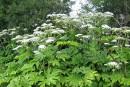 Une plante toxique s'immisce en Estrie