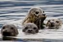 Le commerce de produits du phoque gris pourrait être rétabli