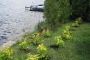 La lutte aux algues bleu-vert débute