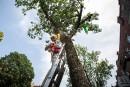 Agrile du frêne: les pièges de champignons semblent prometteurs