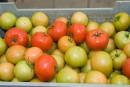 Production de tomates en serres:Sagami-Savoura coupe neuf postes