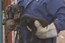 Chiens saisis à Dudswell: la SPA tiendra une soirée d'adoption