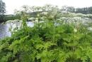 15 000 plants de berces du Caucase éliminés à Lévis