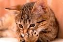 Québec suggère au lieu d'imposer la stérilisation des chats et le micropuçage
