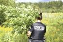 Cannabis : 1500 plants éradiqués à Bromont