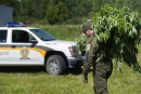 Des centaines de plants de cannabis éradiqués chaque jour