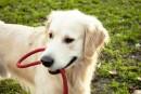 La SPCA veut rendre illégal le fait d'enchaîner un chien en permanence