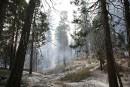 Les majestueux séquoias de Californie menacés par les incendies