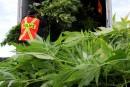 Cannabis: la saison des récoltes bat son plein