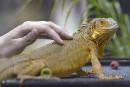 La vétérinaire répond: un reptile pour vous tenir compagnie