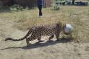 Un léopard traverse un champ la tête prise dans un... | 30 septembre 2015