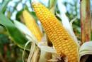 UE: 19 États ne veulent pas de culture d'OGM sur leur sol