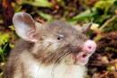 Une nouvelle espèce de rat découverteen Indonésie