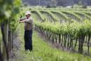 Des viticulteurs planteront des vignes résistantes aux maladies