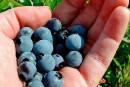 Les bleuets combattent la dysfonction érectile