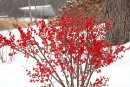 De la couleur tout l'hiver avec le houx verticillé