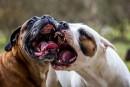 Vols de chiens pour combats de molosses à Québec?