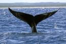 Le BST enquête sur la collision avec une baleine