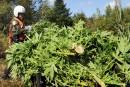 Cinq producteurs de cannabis accusés de vol d'électricité
