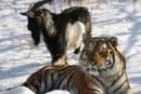 Insolite: le tigre russe Amour s'est fâché avec le bouc Timour !