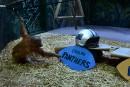 Un singe prédit la victoire des Panthers au Super Bowl